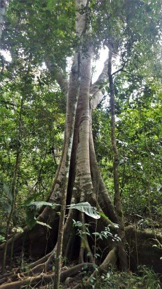 Jedan od velikih čuvara prašume. Odmara.
